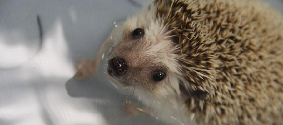 Adorable baby hedgehog